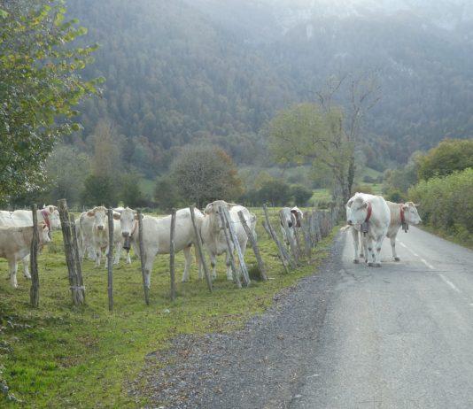 krávy na cestě