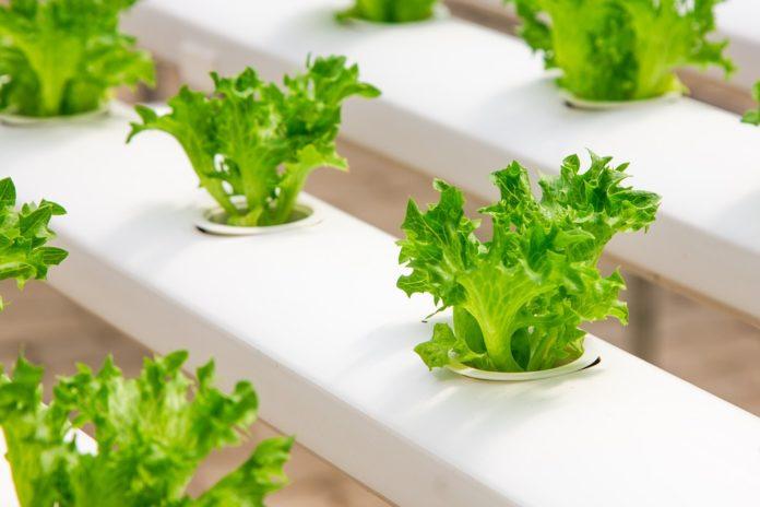 Drobný salát v živném roztoku